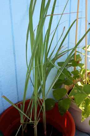 lemon grass month 3