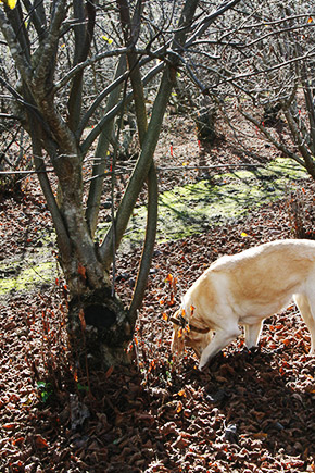 truffle dog found the truffle