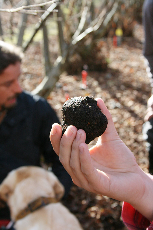 Truffle just out of soil