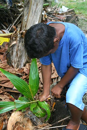 Marshallese boy husking the sprouted coconut