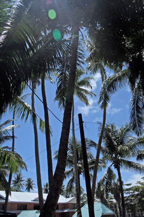 coconut trees in the back yard